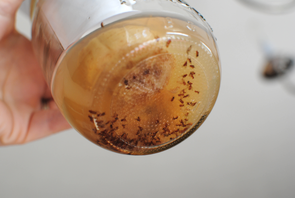 Fruit Fly Traps How to Get Rid of Gnats and Fruit Flies