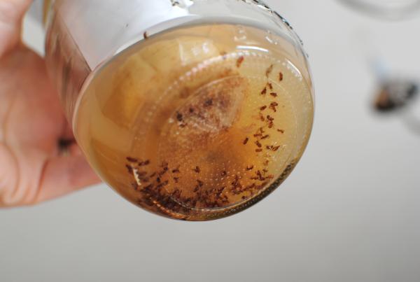 gnat vs fruit fly fruit bar